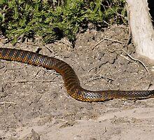 Tiger Snake by Grandalf