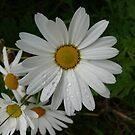 Daisy Tears by PurpleDonna