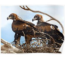 pair young eagles Poster