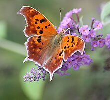 Blessings From The Butterfly Bush (Question Mark Butterfly) by rasnidreamer