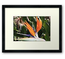 """Bird of Paradise"" Framed Print"