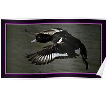 Flight Of The Tufted Duck Poster
