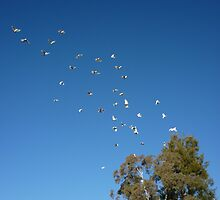 cockatoos in flight by greg angus