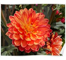 Dahlia In Bloom 1 Poster