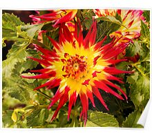 Dahlia In Bloom 4 Poster