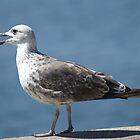 Seagull by Sérgio Grilo