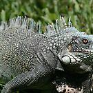 Iguana by DKphotoart