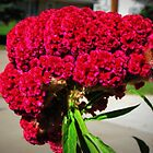 Celosia or Also Called Cocks Comb Solved Vickie Emms by Linda Miller Gesualdo