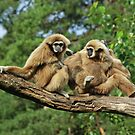Gibbons by Paola Svensson