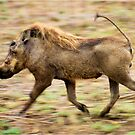 THE WARTHOG, Phacochoerus aethiopicus - The signal catcher ! by Magriet Meintjes