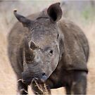 ON A CHARGE - THE WHITE RHINOCEROS – Ceratotherium simum by Magaret Meintjes