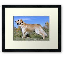 Golden Lab  - Chimo Framed Print