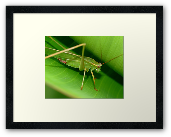 Grass Hopper by Phil Campus