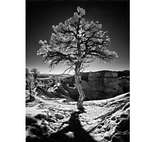 Aura - Bryce Canyon Pine in Infrared Photographic Print