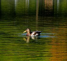 The Mallard by swaby