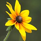 Black-Eyed Susan by okcandids