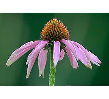 Purple Coneflower (Echinacea purpurea) Photographic Print