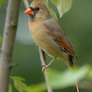 Female Northern Cardinal by okcandids