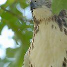 Peek-a-Boo Hawk by okcandids