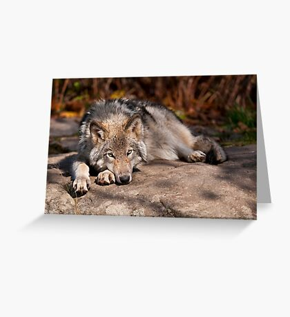 Timber Wolf At Rest Greeting Card