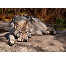 Timber Wolf At Rest Photographic Print
