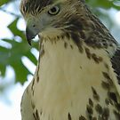 Red-Tailed Hawk by okcandids
