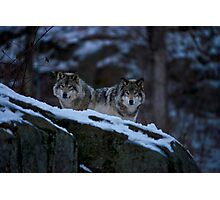 Timber Wolves In Late Evening. Photographic Print