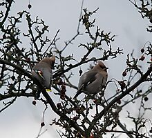 Waxwings In My Garden by dougie1page2