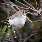 "Chestnut-rumped Thornbill ~ ""Gotcha"" by Robert Elliott"