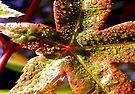 Maple Leaf by naturelover