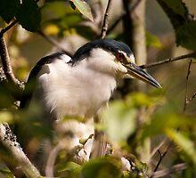 Black Crowned Night Heron by David Friederich