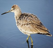 Willet by Paulette1021