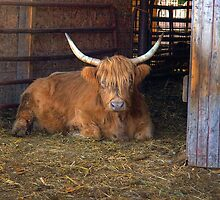 Scottish Highland Cow by ECH52