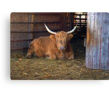 Scottish Highland Cow Canvas Print