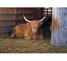 Scottish Highland Cow Photographic Print