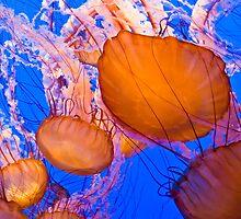 Sea Nettles by TeresaB
