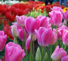 Pink tulips by macaraig