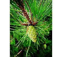 A Pine Day Photographic Print