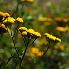 Common Tansy - Wildflowers of Alberta by Roxanne Persson