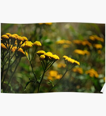 Common Tansy - Wildflowers of Alberta Poster