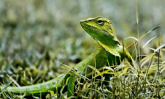 Green Crested Lizard, Bronchocela cristatella by Normf