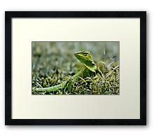 Green Crested Lizard, Bronchocela cristatella Framed Print
