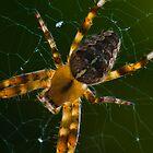 Araneus diadematus - Garden Spider by George Parapadakis (monocotylidono)