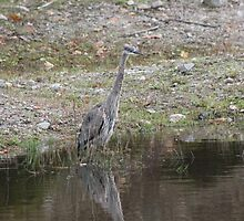 Blue Heron by Vicki Spindler (VHS Photography)