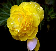 Yellow Begonia After the Rain by Brian104
