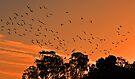 Corella Sunset by bazcelt