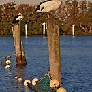 Poles Apart, Pelicans Settling in for the Night by bazcelt