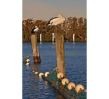 Poles Apart, Pelicans Settling in for the Night Photographic Print
