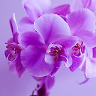 Orchid romantic by DIANE  FIFIELD