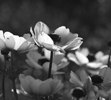 Poppies in Black and White by salsbells69